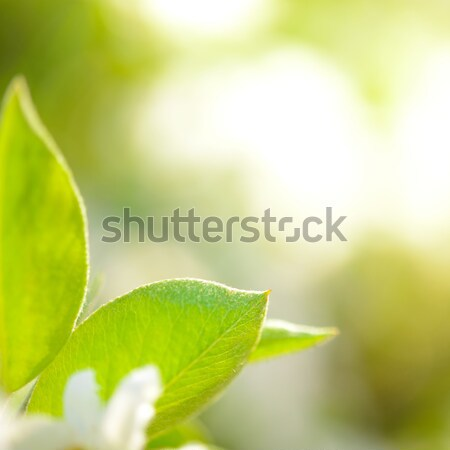Spring Green Pear Leaves on Bright Blurred Background Stock photo © maxpro