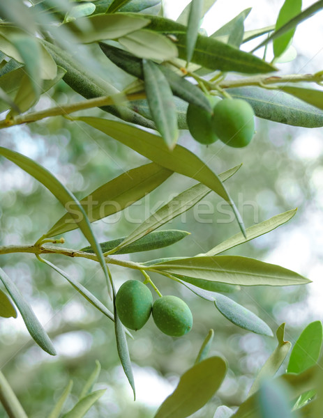 Olive Tree Branch with Olives Stock photo © maxpro
