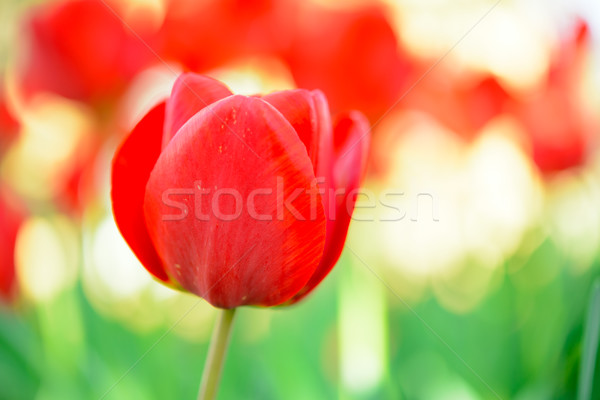 Stock photo: Beautiful Red Tulip in Field. Flower Image with Bright Background