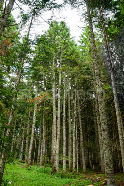 Tall Fir Trees in the Forest at National Park Durmitor, Montenegro, Balkans Stock photo © maxpro