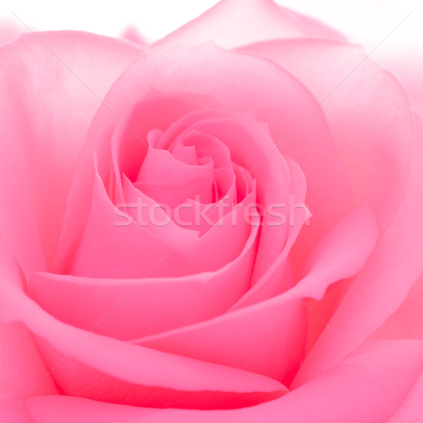 Stock photo: Beautiful Pink Rose Close up. Macro Flower Background Image