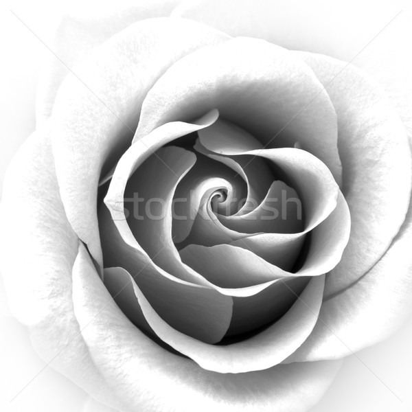 Black and White Close up Image of Beautiful Rose. Flower Background Stock photo © maxpro