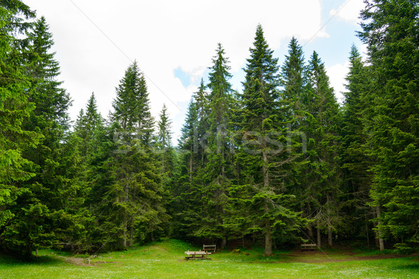 Stock photo: Fir Tree Forest in National Park Durmitor of Montenegro