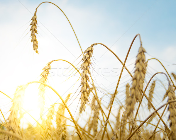 Golden Ripe Wheat Ears Against the Blue Sky and the Sun Stock photo © maxpro