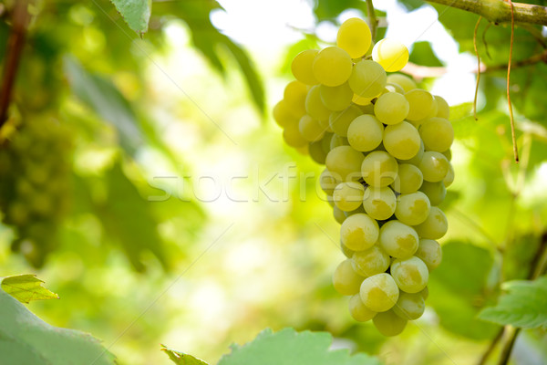 Stock photo: Close-up Image of Ripe Bunche of White Grapes on Vine