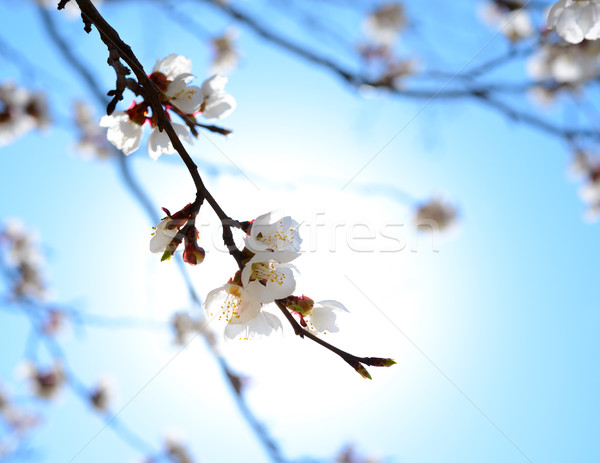 Stock photo: White Spring Flowers in Bright Sun Light on Deep Blue Sky Background