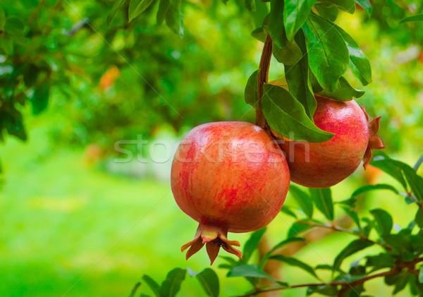 Ripe Colorful Pomegranate Fruit on Tree Branch Stock photo © maxpro