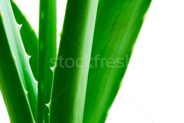 Green Aloe Vera Leafs Isolared on the White Background Stock photo © maxpro