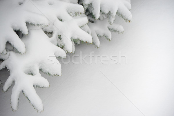 Fir-tree Branch Covered with Snow. Christmas Background with Fir and Real Snow Stock photo © maxpro