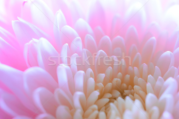 Stock photo: Close Up Image of the Beautiful Pink Chrysanthemum Flower