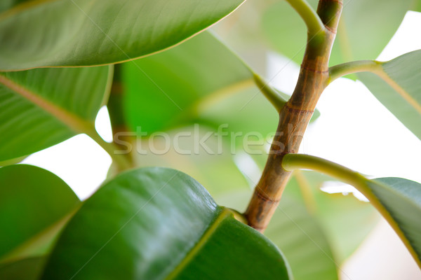 Stock photo: Green Leafs of Pipal Plant on White Background
