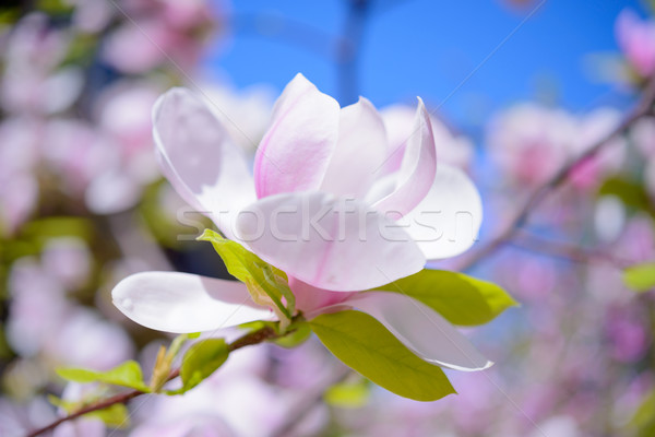 Stock photo: Beautiful Pink Magnolia Flowers on Blue Sky Background. Spring Floral Image