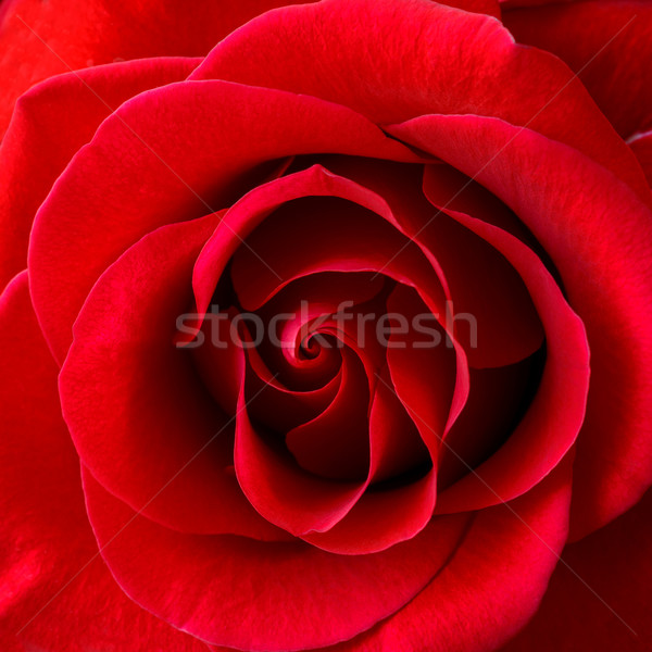 Beautiful Red Rose Close-up. Flower Background Image Stock photo © maxpro