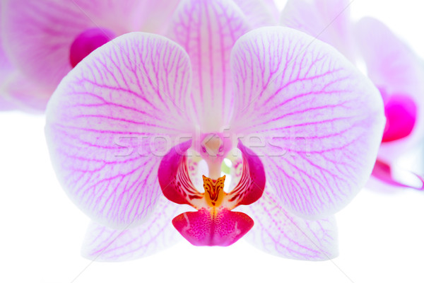 Beautiful Pink Orchid Flowers Isolated on the White Background. Close-up Floral Image Stock photo © maxpro