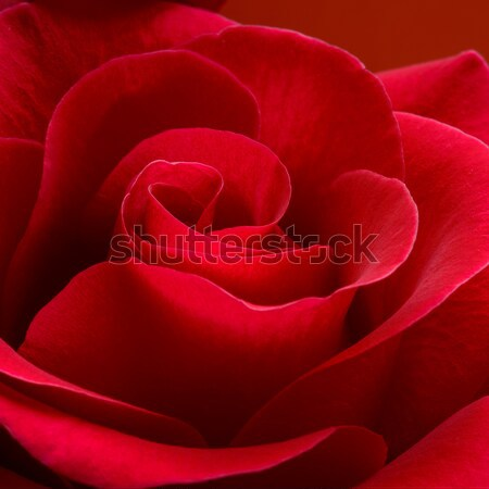 Beautiful Red Rose Close up. Macro Flower Background Stock photo © maxpro