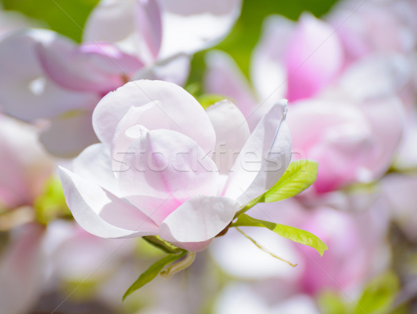 Stock photo: Beautiful Pink Magnolia Flowers. Spring Background