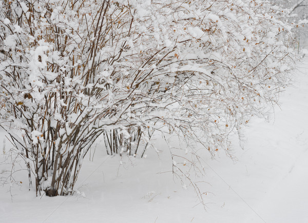 Bare Frozen Branches Covered with Fresh Snow Stock photo © maxpro