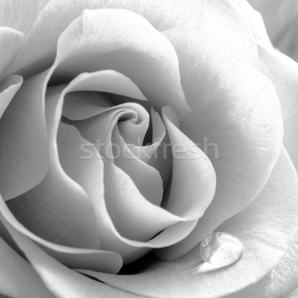 Black and White Close up Image of Beautiful Rose. Macro Flower Background Photo Stock photo © maxpro