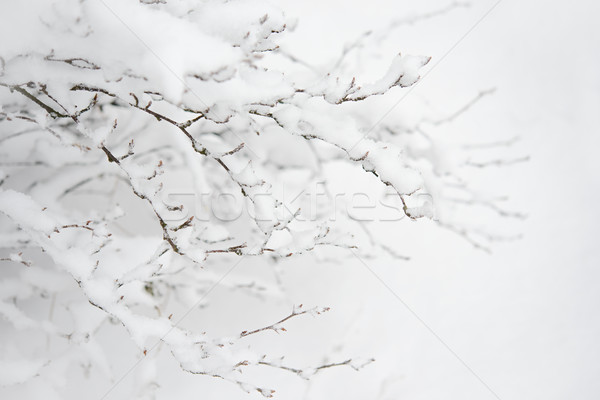 Bare Frozen Branches Covered with Fresh Snow. Winter Landscape Stock photo © maxpro