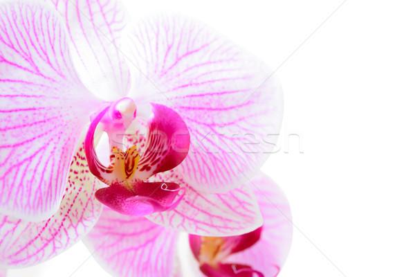Stockfoto: Mooie · roze · orchidee · bloem · geïsoleerd · witte