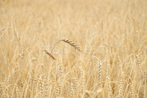 Golden Ripe Wheat Background. Close-up of Ripe Wheat Ears Stock photo © maxpro
