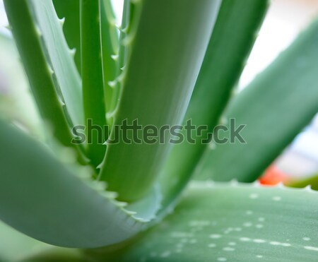Close up Image of Green Aloe Vera Leafs on Bright Background Stock photo © maxpro