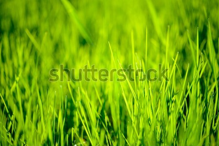 Fresh Spring Green Grass Lit by Bright Warm Sunrays Stock photo © maxpro