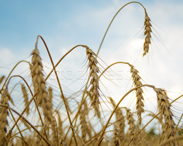 Stock photo: Golden Ripe Wheat Ears Against the Blue Sky