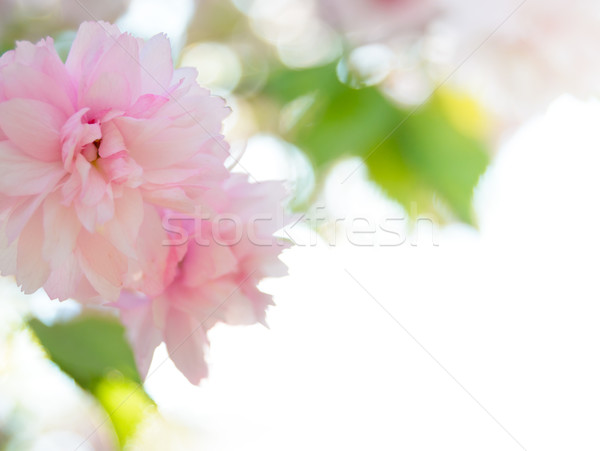 Pink Sakura Flowers. Spring Background Stock photo © maxpro