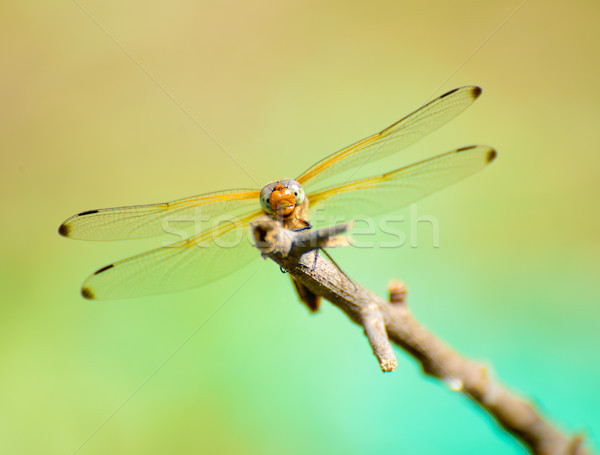 Dragonfly филиала большой природы лет Сток-фото © maxpro