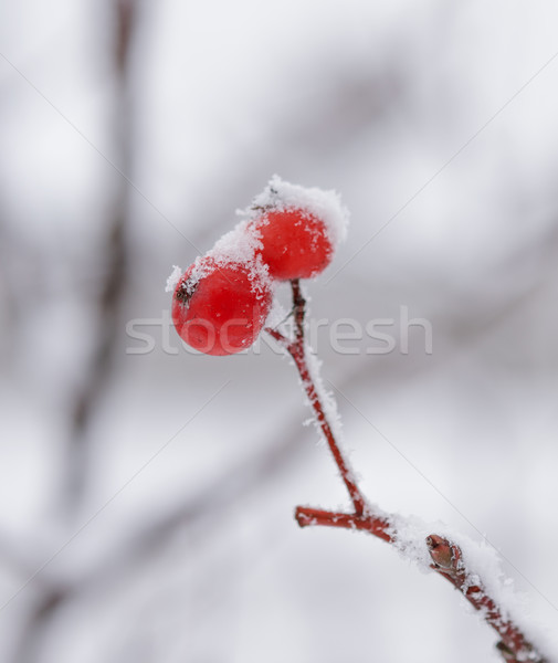Red Rowan Berries Covered With Fresh Snow Stock photo © maxpro