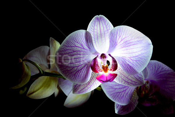 Beautiful Pink Orchid Flowers Isolated on Black Background Stock photo © maxpro