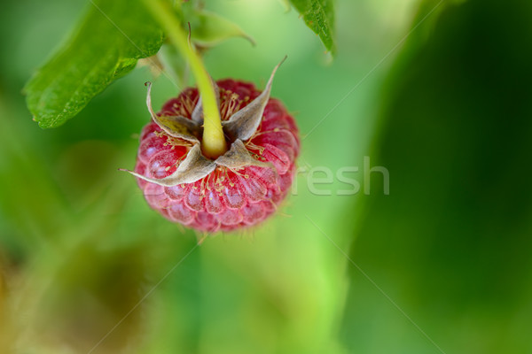 Stock photo: Close-up Image of Red Ripe Raspberry Growing in Garden