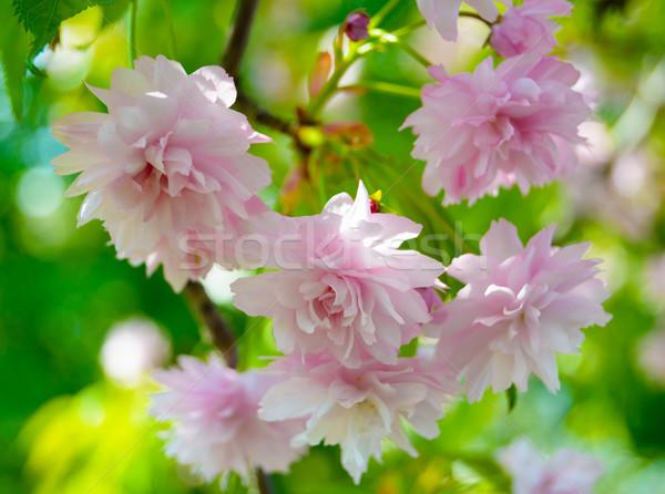 Pink Sakura Flowers. Spring Background Stock photo © maxpro