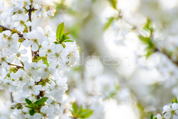 White Spring Cherry Flowers on Bright Blurred Background Stock photo © maxpro