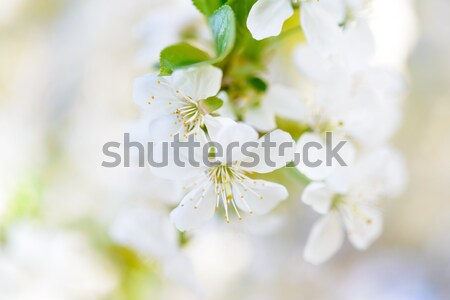 Spring Blossoming Cherry Flowers on Bright Blurred Background Stock photo © maxpro