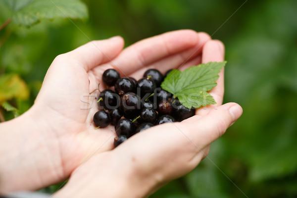 Blackcurrant picking Stock photo © maxsol7