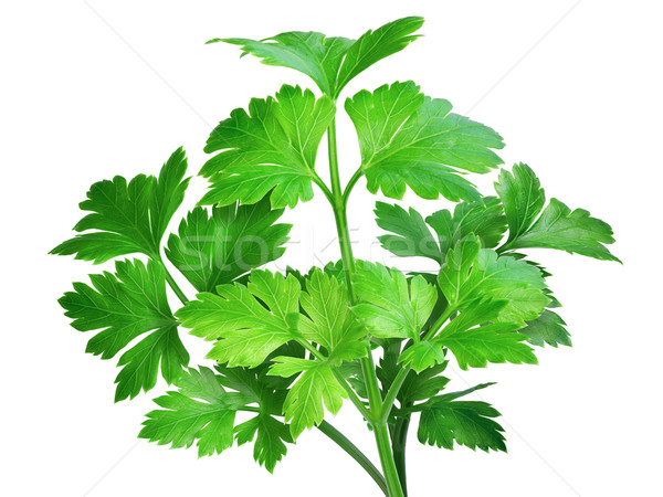 Flat-leaved parsley Stock photo © maxsol7