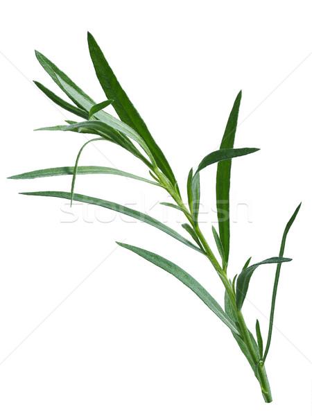 Fresh tarragon (Artemisia Dracunculus) Stock photo © maxsol7