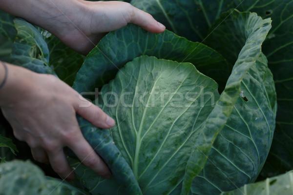 Cabbage harvest Stock photo © maxsol7