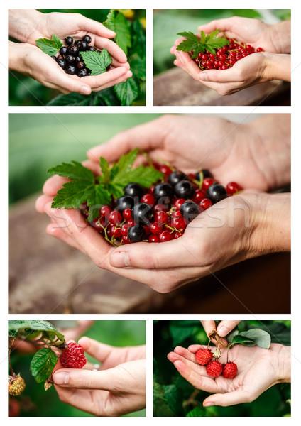 Berries picking Stock photo © maxsol7
