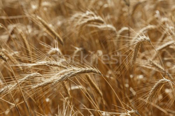 Rye field Stock photo © maxsol7