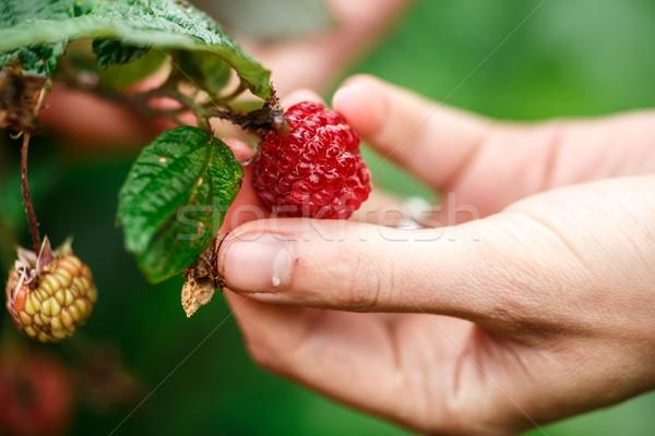 Stock photo: Raspberry picking