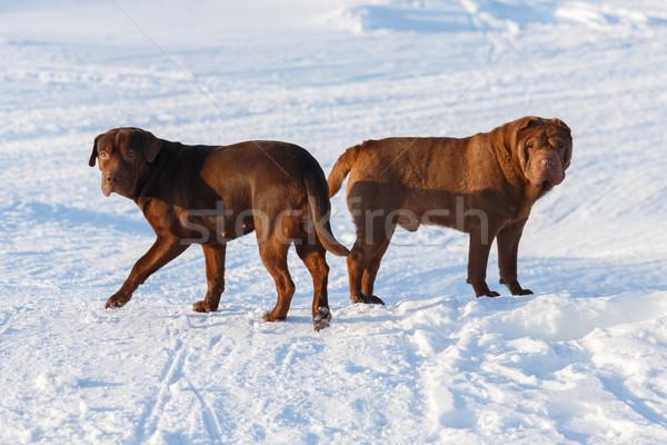 Brown dogs Stock photo © maxsol7