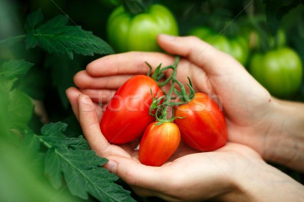 Ripe tomatoes Stock photo © maxsol7