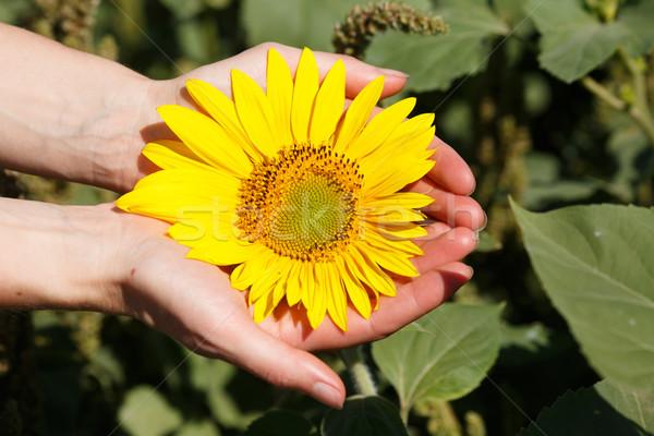 Mulher girassol feminino mãos florescimento Foto stock © maxsol7