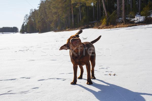 Dog shake its head Stock photo © maxsol7