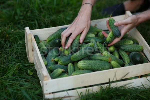 Cucumbers harvest Stock photo © maxsol7