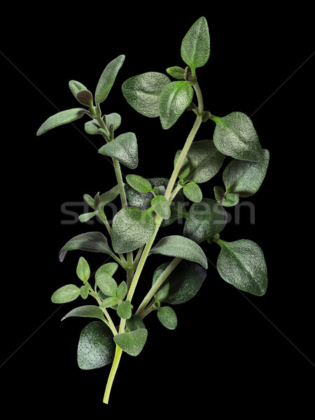 Thyme with clipping paths Stock photo © maxsol7