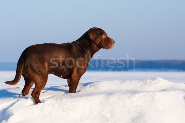 Dog at sunny day Stock photo © maxsol7